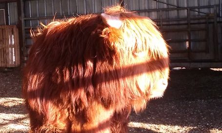 Highland cattle   Nybo gård